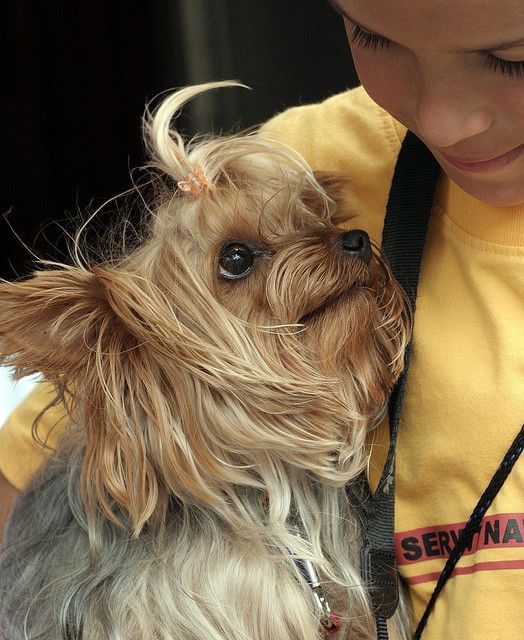 Boy And A Dog Yorkie Moms Yorkie Yorkshire Terrier