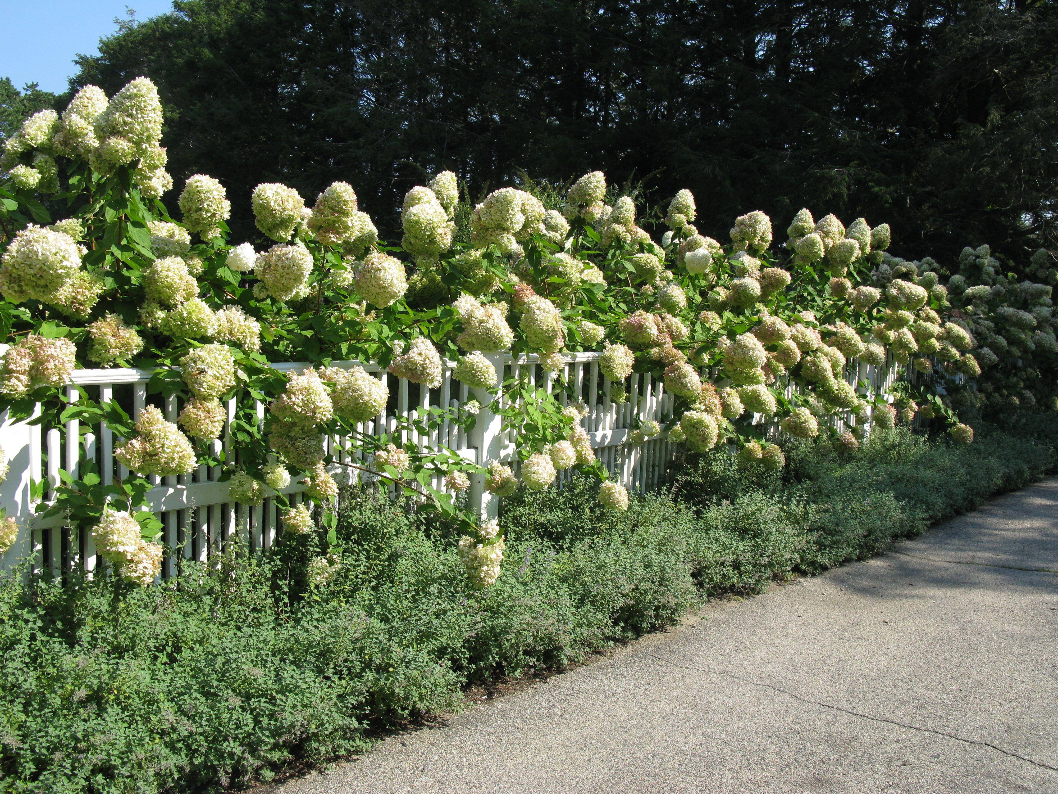 Limelight hydrangea | great plants | Pinterest | Hydrangea ...