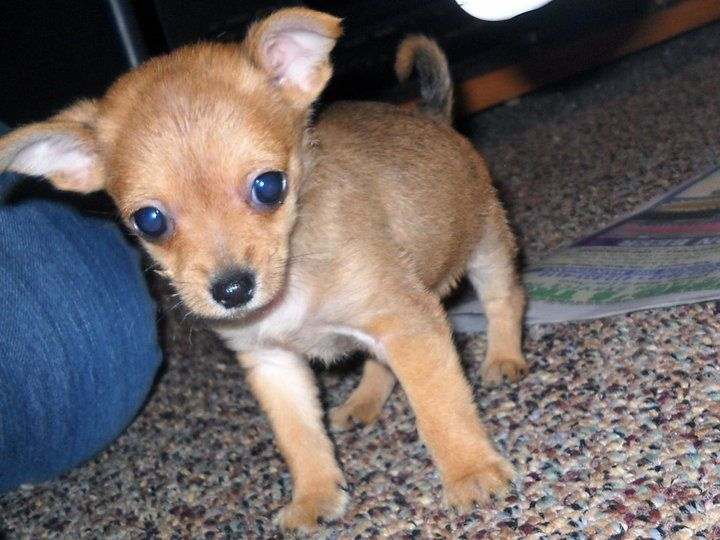 Chorkie Puppy Not My Quincy But Looks Just Like Him