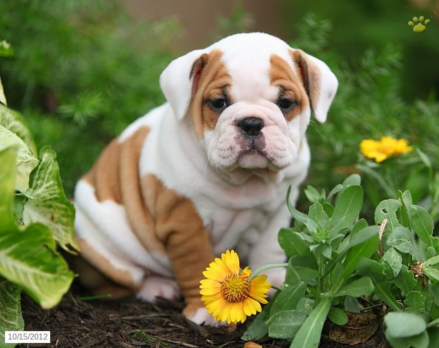 Krystal English Bulldog Puppy For Sale In Dundee Oh Bulldog Puppies Bulldog Puppies For Sale English Bulldog Puppies