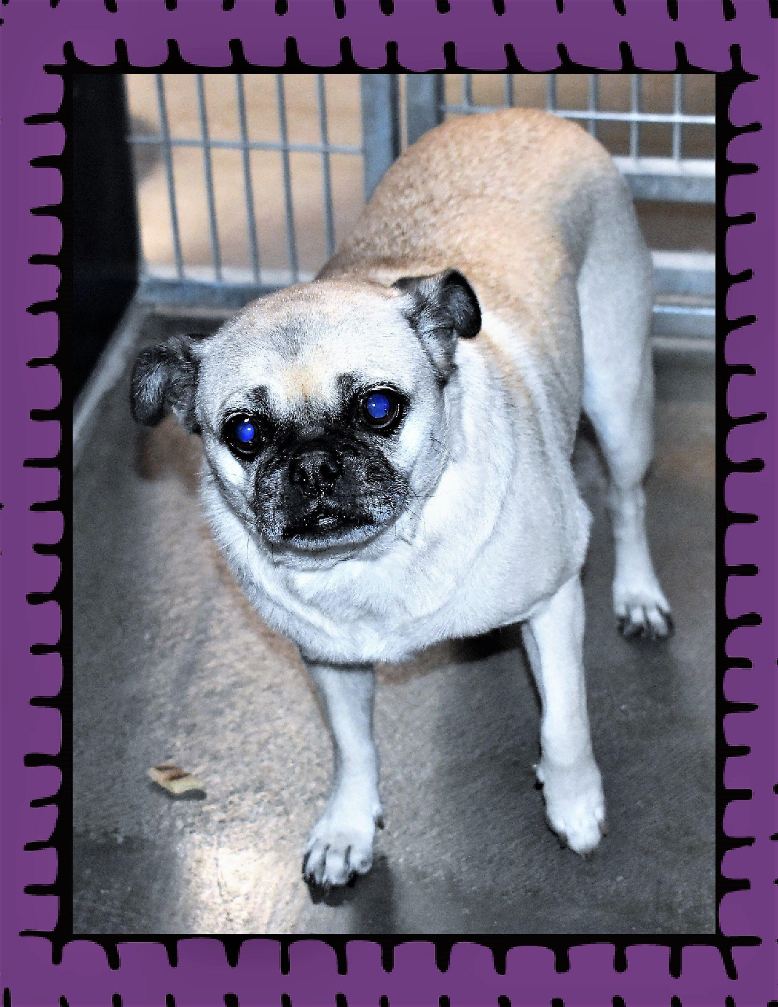 Pug Dog For Adoption In San Jacinto Ca Adn 698218 On Puppyfinder