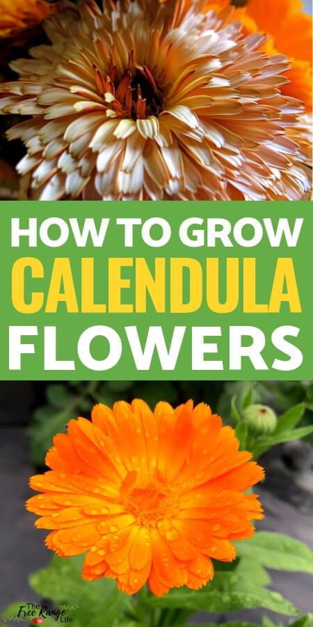How To Grow Calendula In Your Garden From Seed 400 x 300