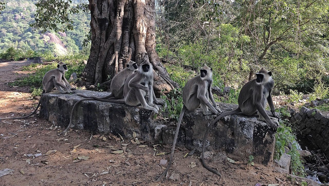 The 2016 'monkey fever' outbreak was not the first in