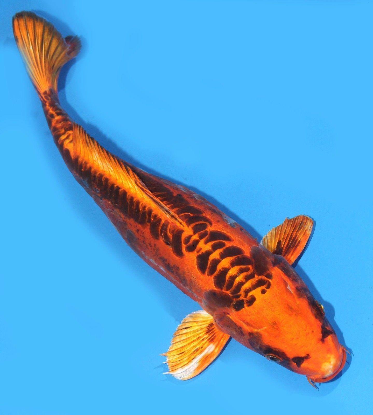 Live Koi Fish Huge 12 13 Doitsu Deep Yellow Matsuba Ghost Koibay Go Shop Pet Supplies Koi Aquarium Fish Koi Fish