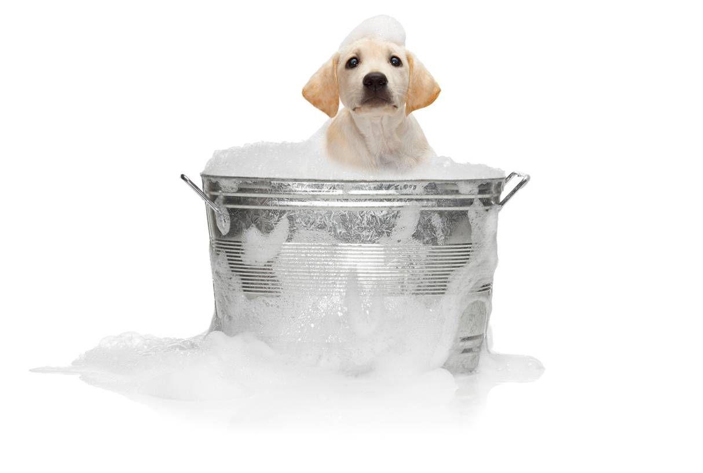Recipe To Remove Skunk Odor Tri County Humane Society St Cloud Minnesota Dog Shampoo Diy Dog Shampoo Homemade Dog Shampoo