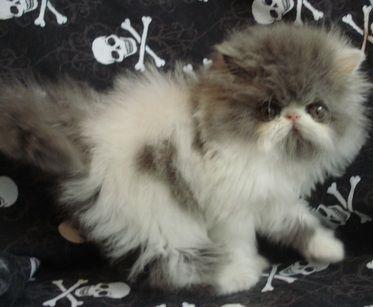 Katzeye Persian Beautiful And Sweet Persian Kitten Now Belongs To Fran In Nc Persian Kittens For Sale Persian Kittens Cute Animals