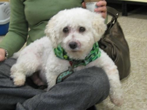 Adopt Isabelle on Bichon frise, Cute puppies, Puppy mills