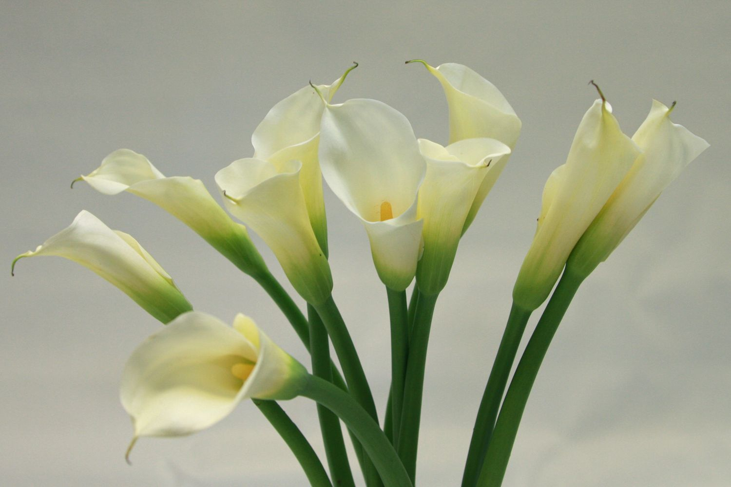 Flowering facts calla lilies calla lilies lilies flowers and flowers calla lily flowers the elegant calla lily has been the muse of artists for centuries izmirmasajfo Image collections