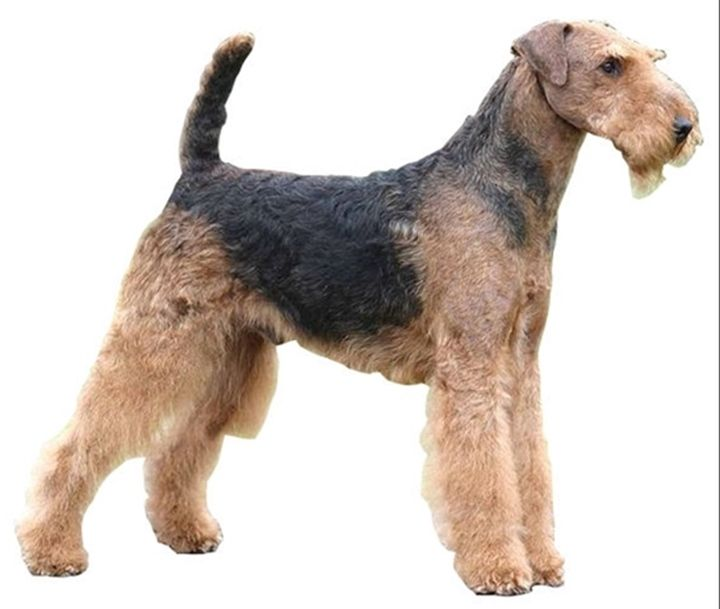 Second Part Of Airedale Terrier Review Appearance Of The