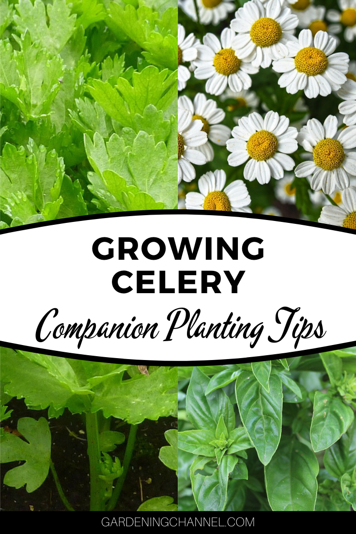 10 Easy Tips How To Grow Chamomile The Gardening Dad In 2021 Chamomile Growing Harvesting Herbs Edible Garden