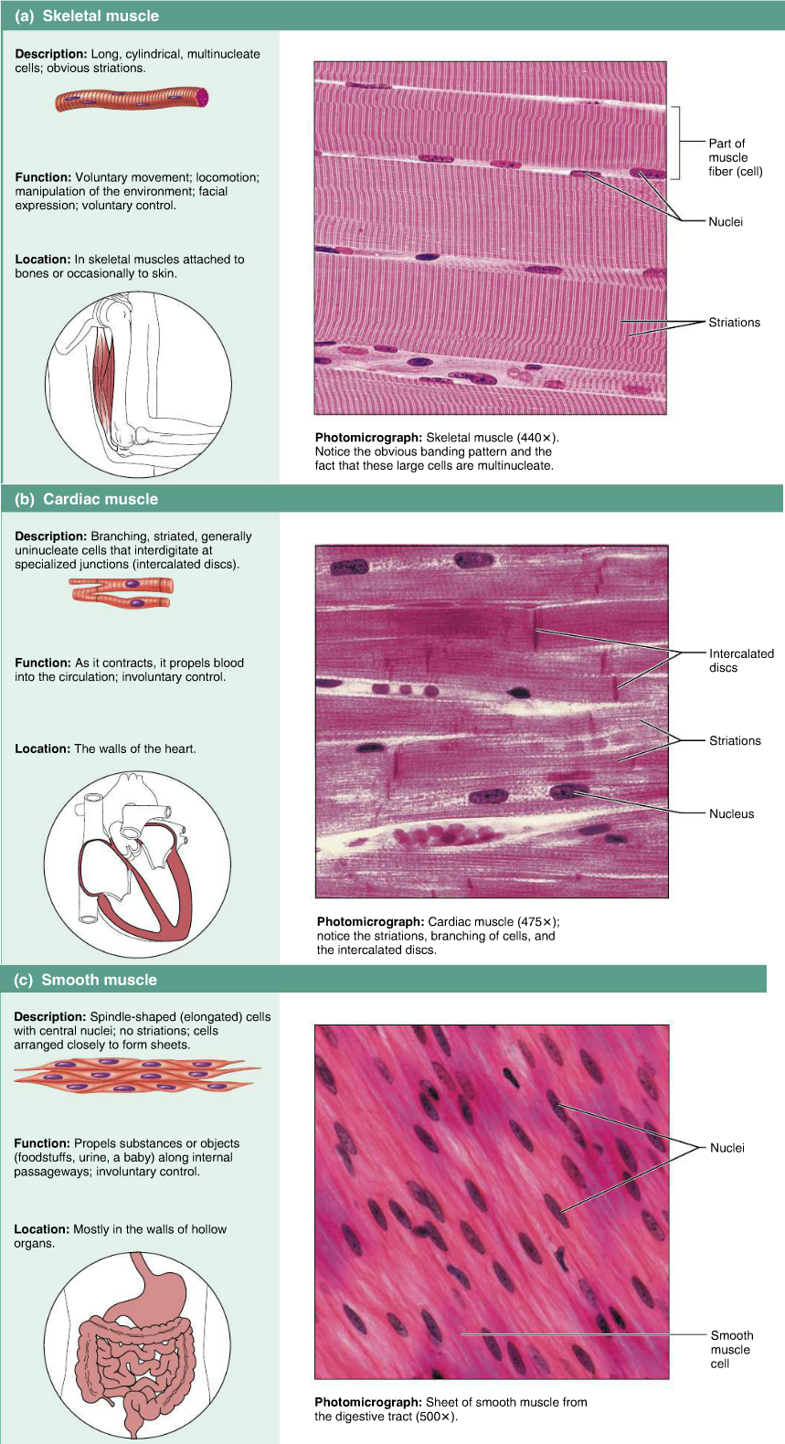 Muscle tissues - skeletal, cardiac, smooth | Epithelium - Images ...