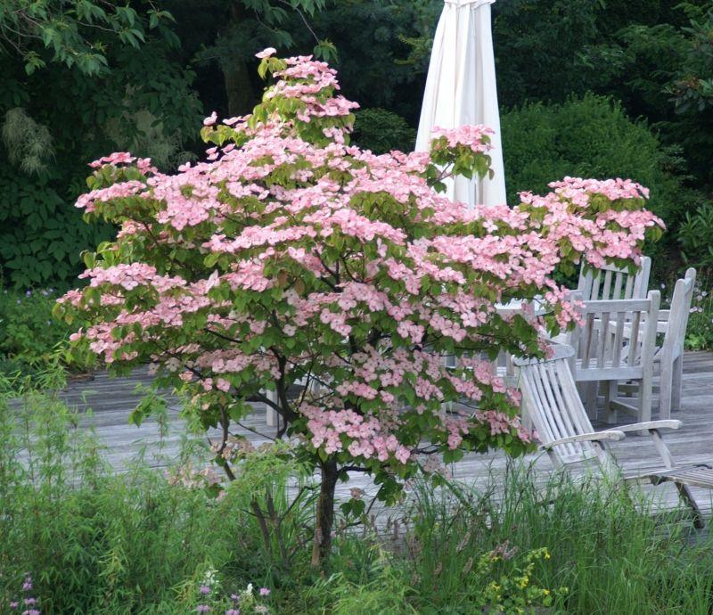 Cornus Kousa Rosabella Shade Shrubs Shade Garden Cottage Garden