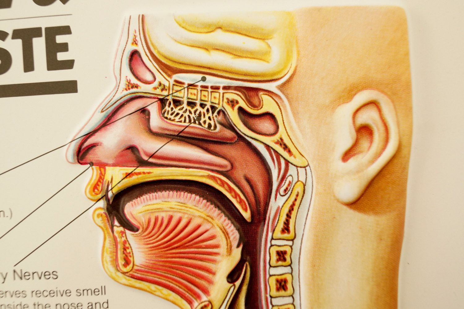 Vintage 3D Human Body Chart, Smell and Taste, Human Anatomy (c.1980s ...
