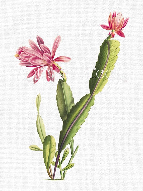 """Plant Clipart """"Pink Cactus Flower"""" Digital Download Botanical Illustration Art Image for ..."""