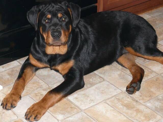 Rottweiler Puppies For Sale In Sc Zoe Fans Blog Rottweiler