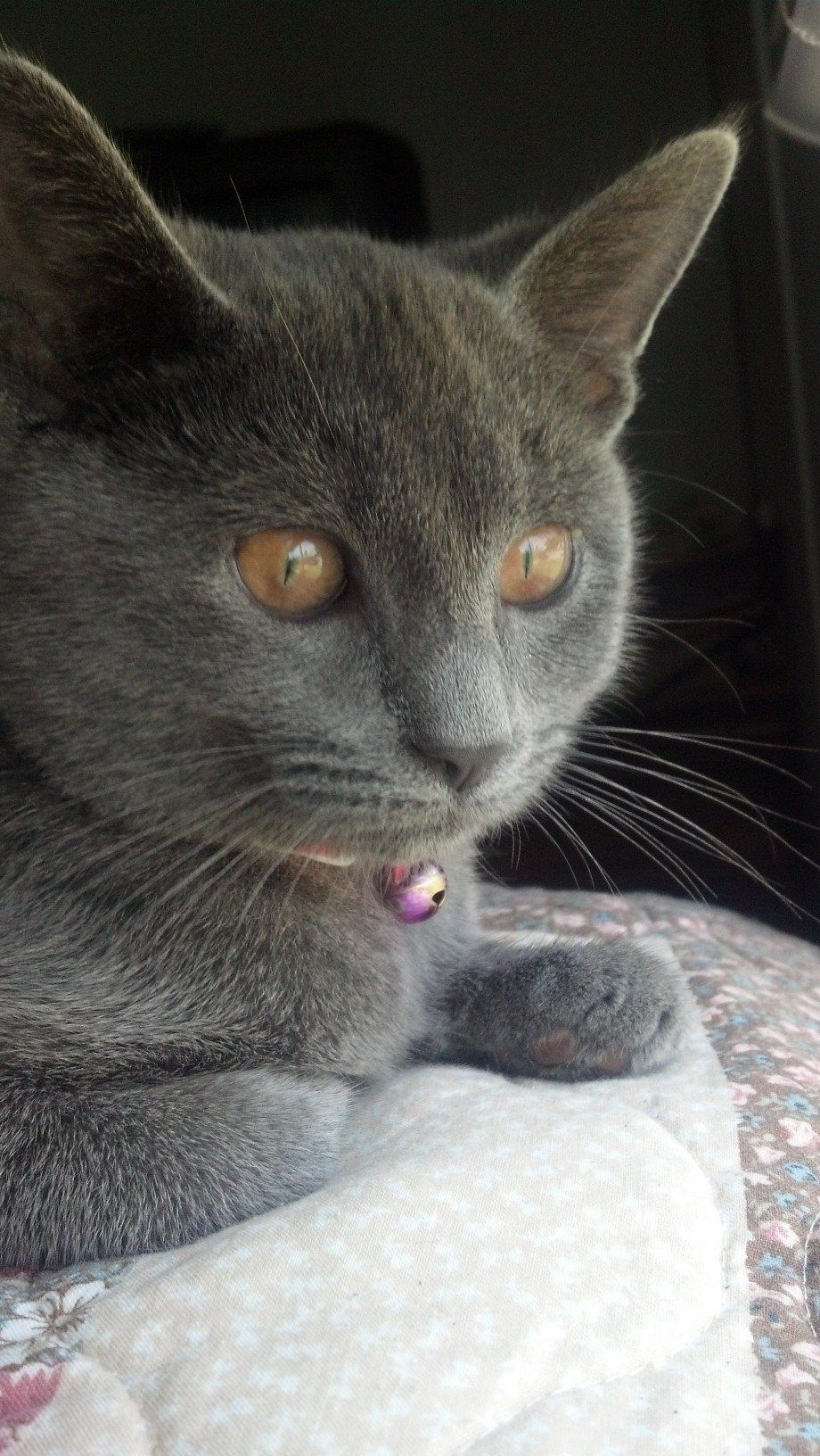 My Blue Russian Tabby mix kitten that I rescued from the shelter