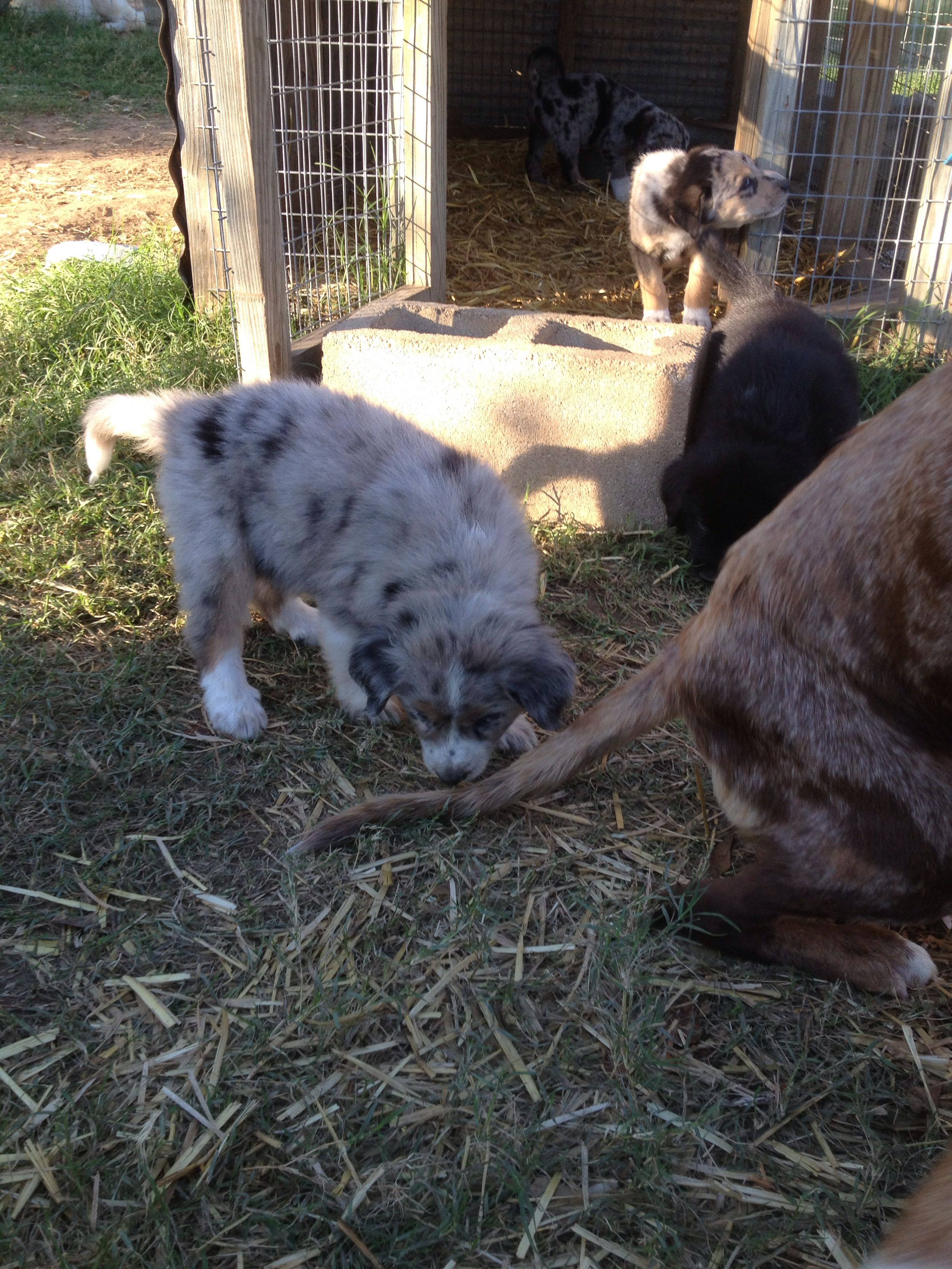 Catahoula X Great Pyrenees Pups 6