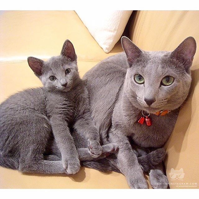 Daily Doses Of Original Cute Cat Photos Russian Blue Cat Russian Blue Cats And Kittens