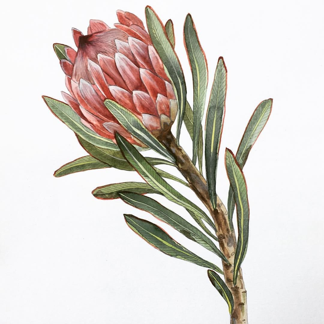 853 Likes 3 Comments Georgina Taylor Jorj On Instagram Protea Botanicalwatercolor Southafricanart P Protea Art Botanical Drawings Botanical Art