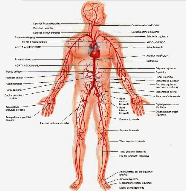 Arterias - Sistema circulatorio | Anatomía ❤ | Pinterest