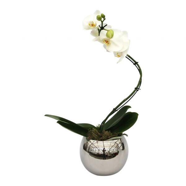 Orchidee White Twister in pot Silver