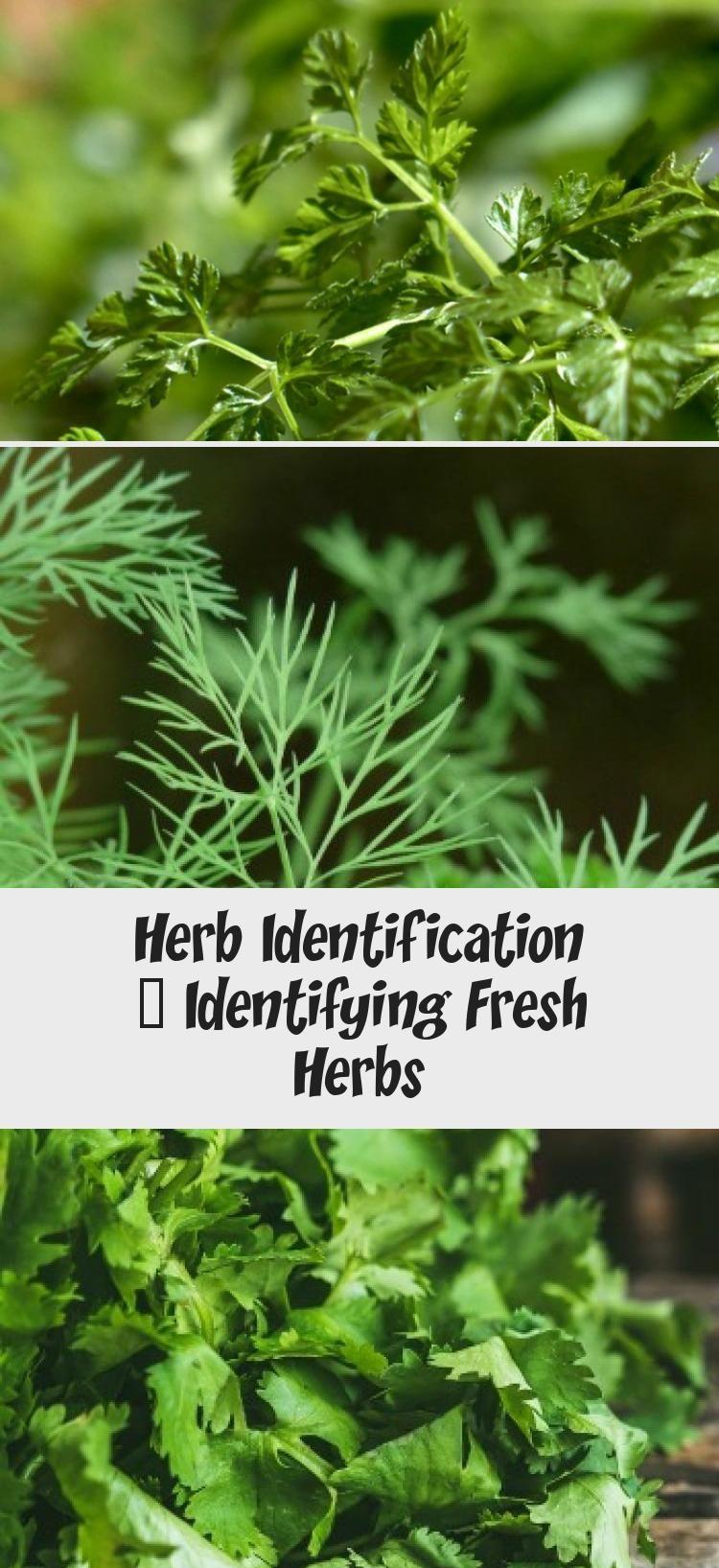 Herb Identification Identifying Fresh Herbs In 2020 Perennial