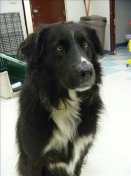 Newfoundland Mix Ruby Border Collie Mix Border Collie Mans Best Friend