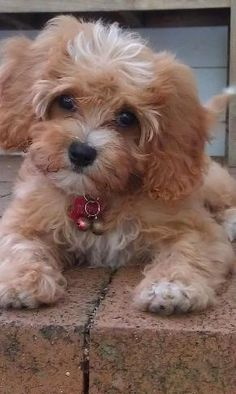 Cute Pics On Pinterest Corgis Puppys And Poodle Mix Puppies