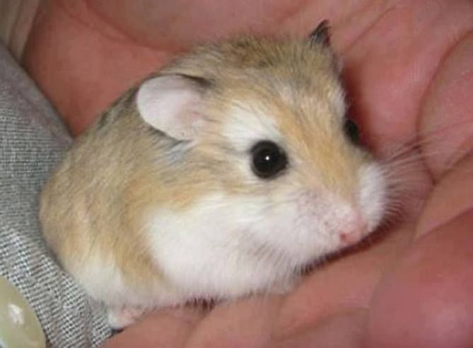 Karma Animals Nature Dwarf Hamster Hamsters As Pets Hamster Breeds