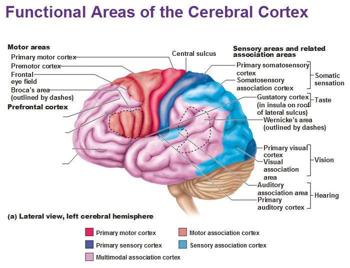 left lateral view functional areas cerebral cortex motor sensory ...