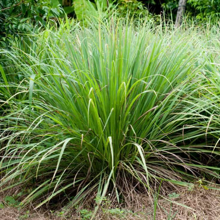 Keeping Mosquitoes Away - 21+ Mosquito Repellent Plants ...