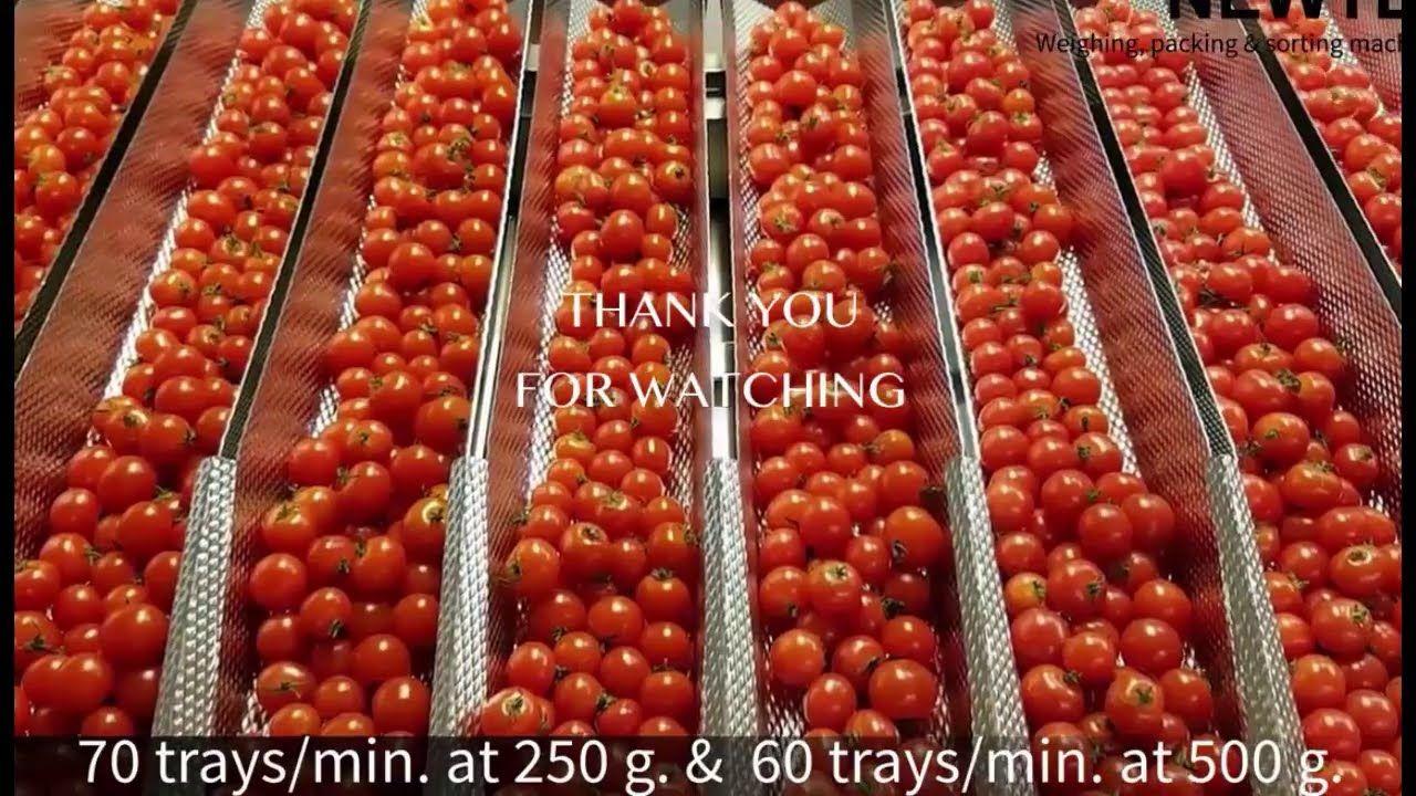 Awesome Greenhouse Tomato Planting Modern Technology Harvesting Processi Greenhouse Tomatoes Tomato Plants Tomato