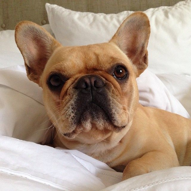 Good Morning Frenchies Pinterest French Bulldog Dogs And Puppies