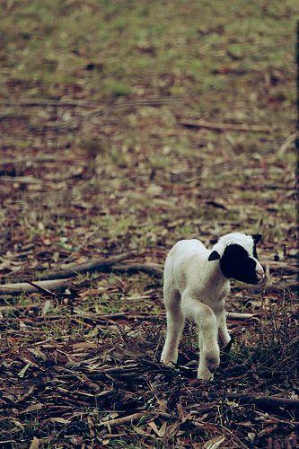 Lambing Season #Springtime