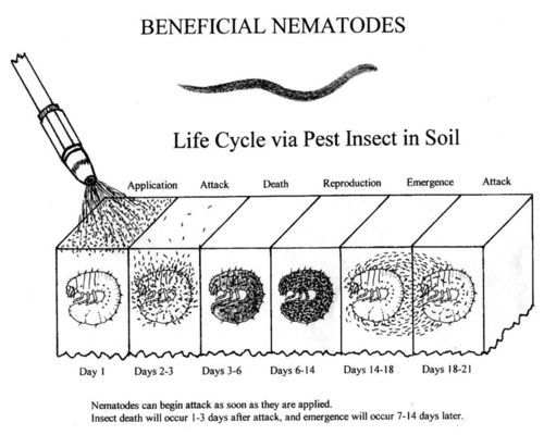 how to use beneficial nematodes