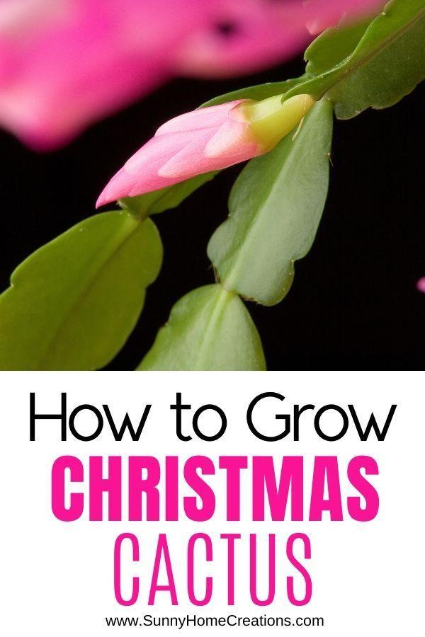 How to Grow a Christmas Cactus   Christmas cactus, Christmas cactus plant, Christmas cactus care