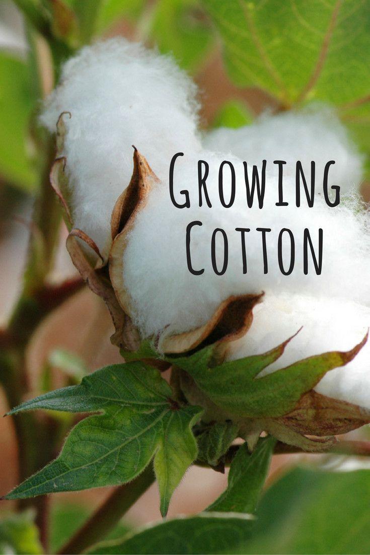 Growing cotton plants growing cotton cotton plant