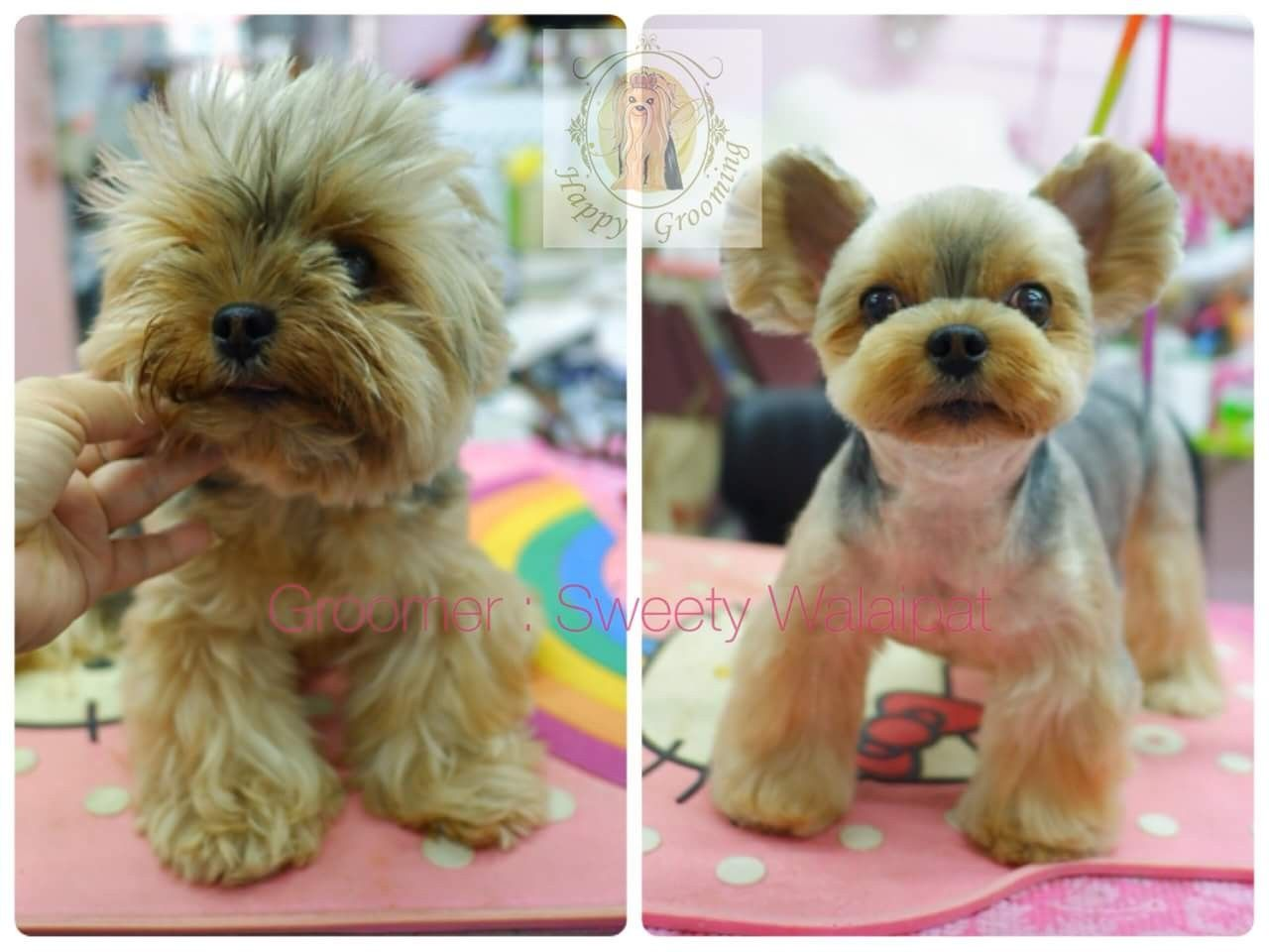 Pin By Amanda Surat On Roscoe Styling Dog Grooming Dog Grooming Styles Yorkie Puppy Haircuts