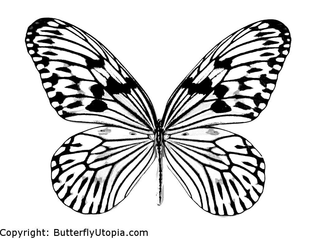 real butterflies coloring pages - photo#6