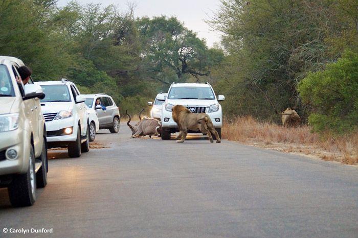 Kudu Lion Chase Car Nature Conservation Kruger National Park