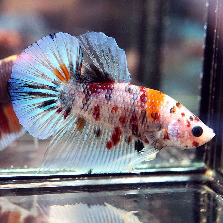 New Species Live Betta Fish Fancy Nemo Koi Halfmoon Plakat Hmpk Male Pet Supplies Fish Aquariums Live Fish Ebay Betta Fish Koi Betta