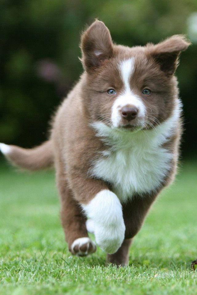 Liver And White Border Collie Puppy Best Dog Breeds
