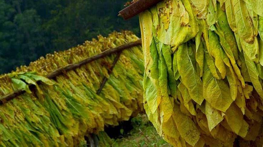 Tobacco cultivation booming despite risks healing plants
