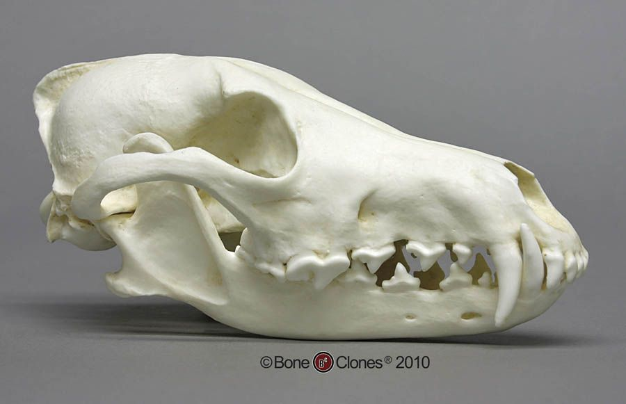 Dog Skull Coyote Skull Dog Skull Animal Skulls