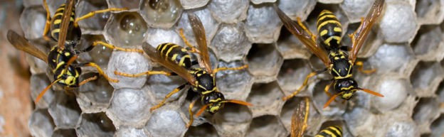 Wasp Control Vancouver, Coquitlam, Richmond, Wasp Control