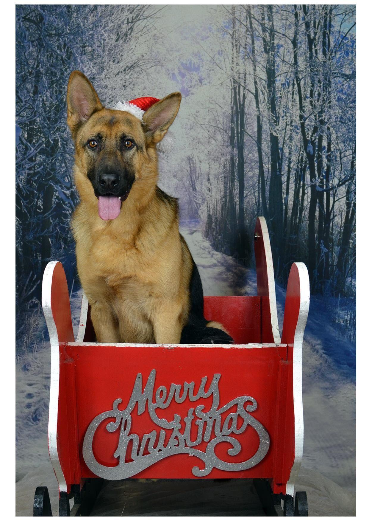Gsd At Christmaa German Shepherd Christmas Cards Cute German