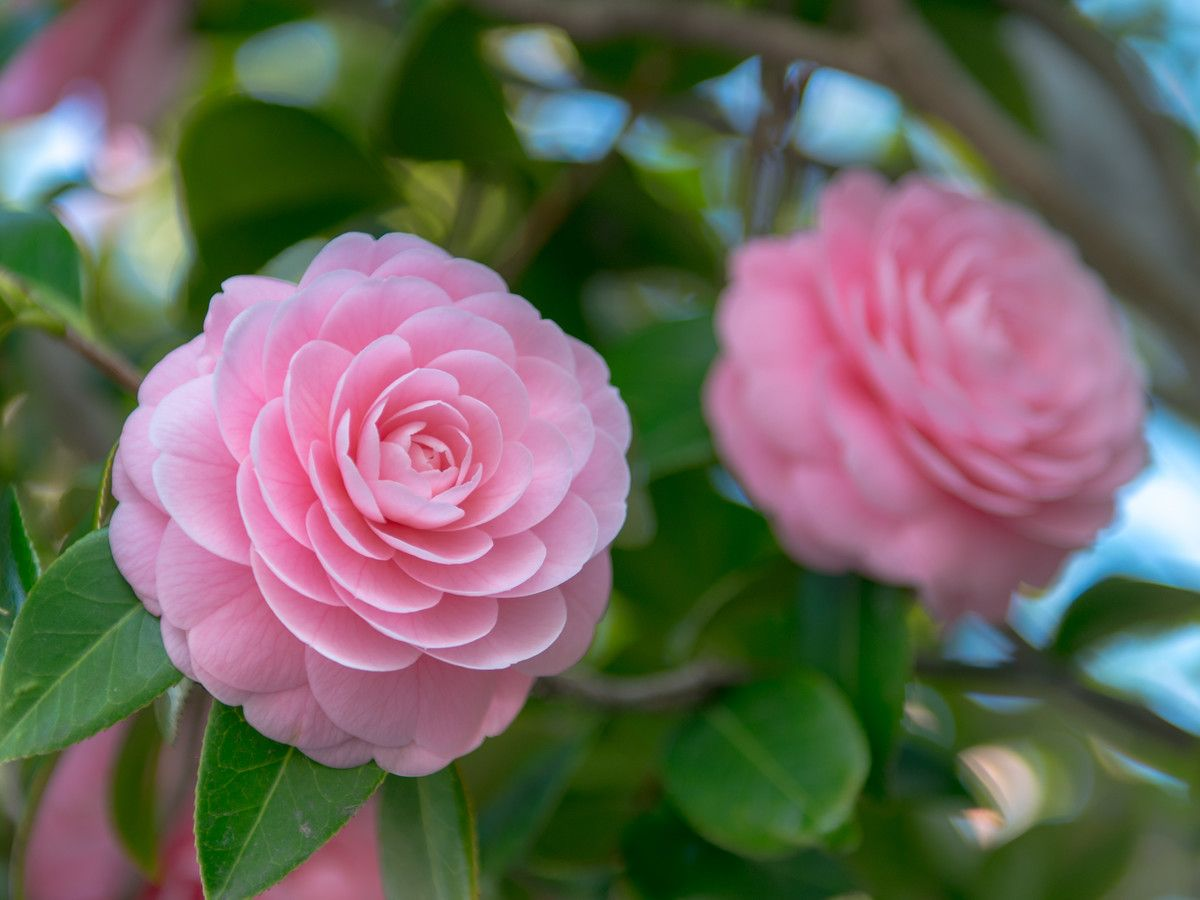 The Biggest Mistakes To Avoid When Growing Camellia Flowers Southern Living Flowers Camellia Flower Camellia Tree
