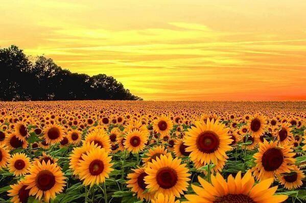 Sunflower Fields Jarrettsville Maryland Sunflower Fields Sunflower Wallpaper Field Wallpaper