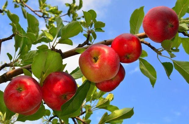 Where to Go Apple-Picking in Washington | Apple ...