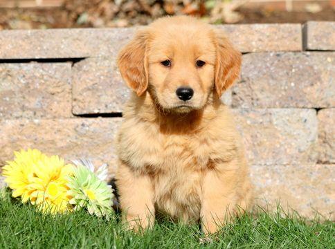 Golden Retriever Puppy For Sale In Mount Joy Pa Adn 52337 On